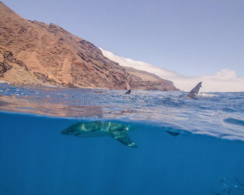 Über-unter einem Weißen Hai in Guadalupe Island, Mexiko lizenzfreies stockfoto