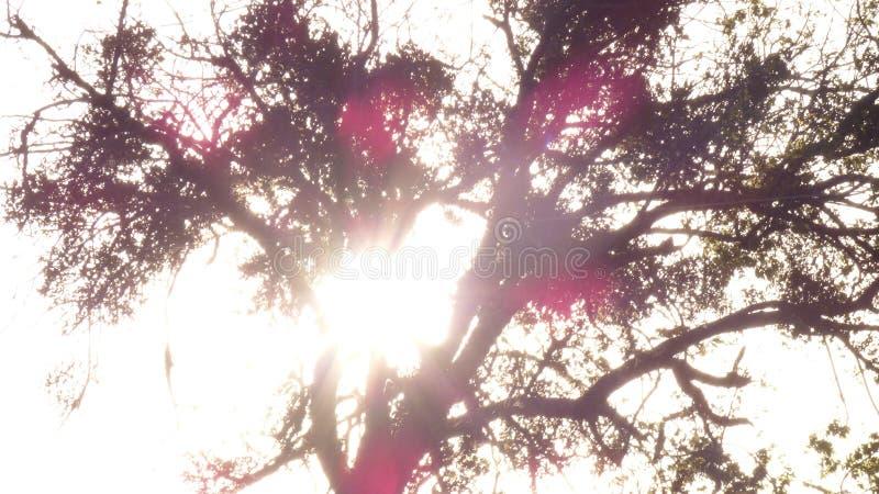 Überbelichtete Eiche gegen untergehende Sonne stockbild