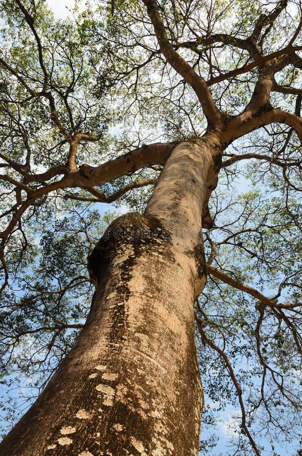 Überdachungsbaum lizenzfreie stockbilder