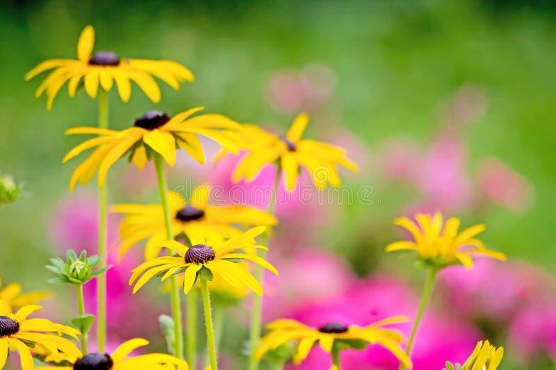 Überfluss an blühenden wilden gelben und rosa Blumen auf der Wiese zur Sommerzeit lizenzfreies stockbild