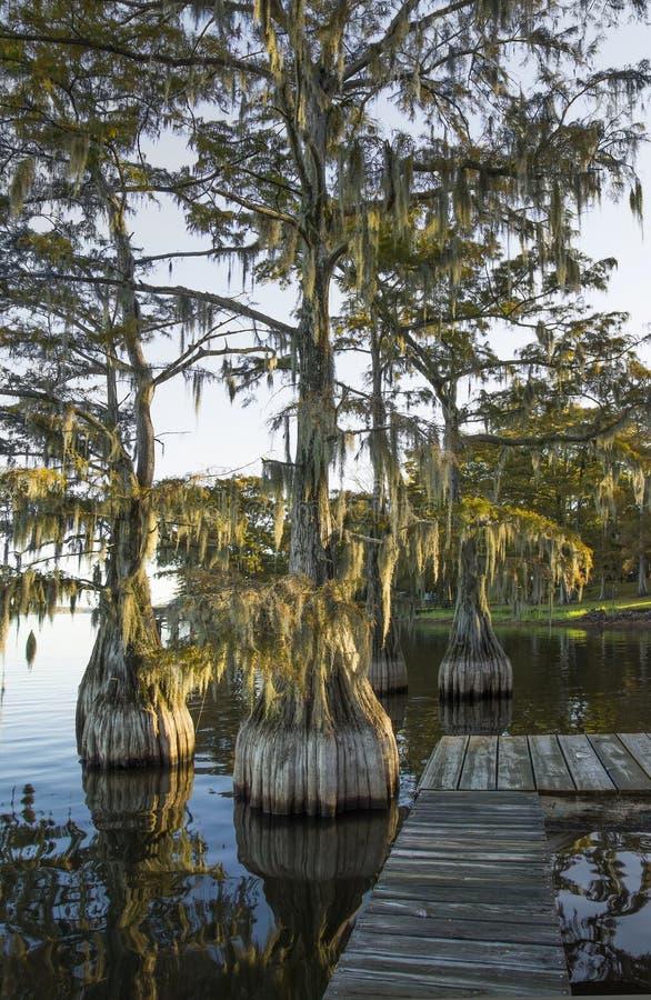 Überfluten Sie (kahl), Zypresse (Taxodium distichum) lizenzfreies stockbild