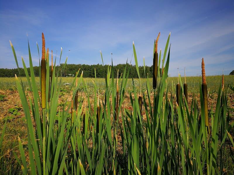 Überfluten Sie Schilfe auf einem kleinen Sumpf am Rand des Waldes stockbilder