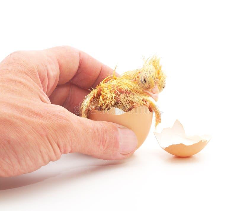 Übergeben Sie, das ein Huhn in einer Eierschale anhält lizenzfreie stockbilder