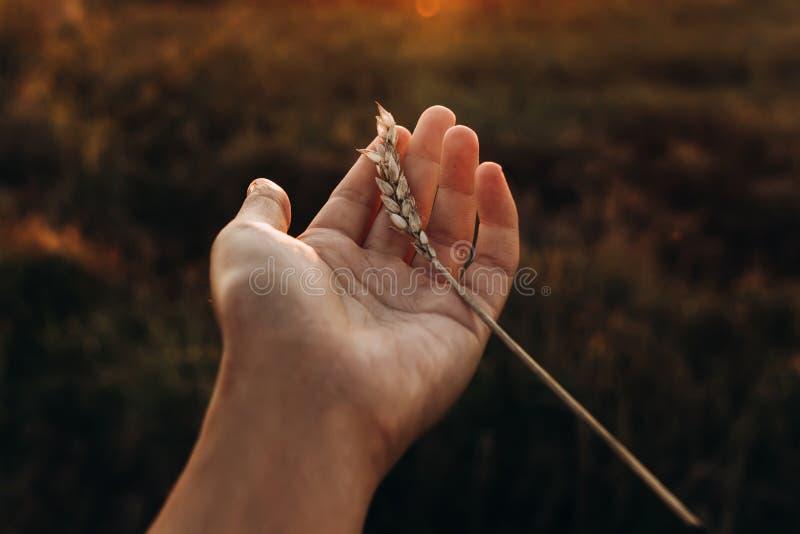 Übergeben Sie das Halten des Weizens in erstaunlichen Sonnenuntergangstrahlen auf dem Sommerabendgebiet lizenzfreies stockbild
