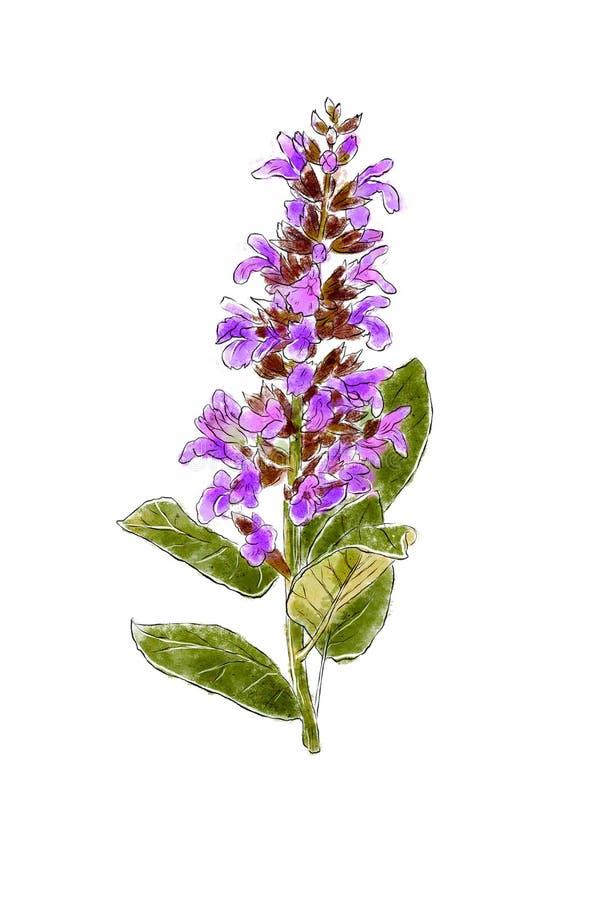 Übergeben Sie den gezogenen Salbei der wilden Blume, der auf weißem Hintergrund lokalisiert wird Botanisches Element für Ihr Desi lizenzfreie abbildung