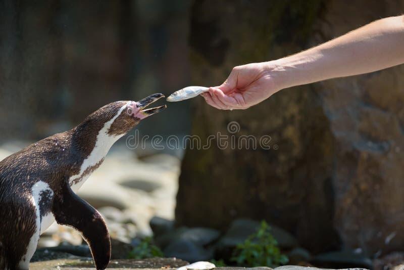 Übergeben Sie die Fütterung eines Humboldt-Pinguins mit einem Fisch stockbilder