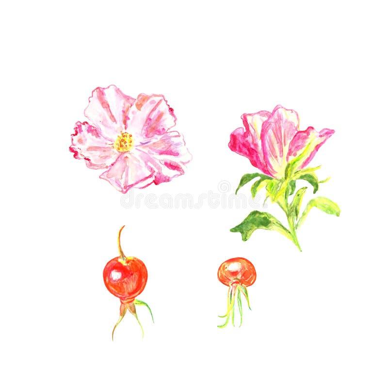 Übergeben Sie die gezogenen Blumen von dogrose und von Hagebutten, lokalisiert auf weißem Hintergrund lizenzfreie abbildung