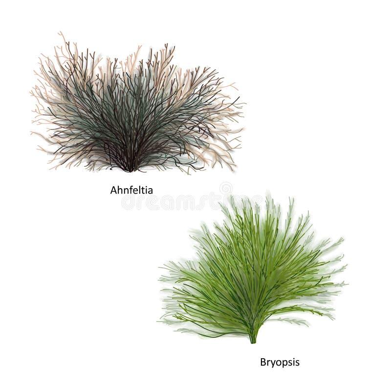 Übergeben Sie gezogene Vektorillustration von bunten Seeunkräutern: Ahnfeltia und Bryopsis, Klasse des Rotes und der Grünalgen Lo stock abbildung