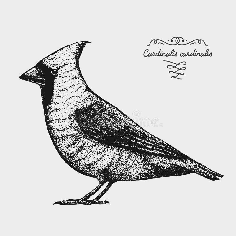 Übergeben Sie gezogenem Vektor realistischen Vogel, grafische Art der Skizze, roter Kardinal, cardinalis vektor abbildung