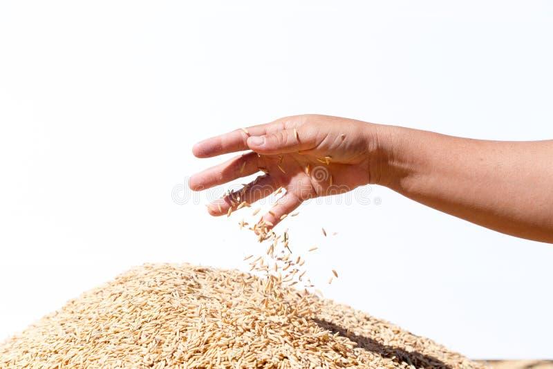 Übergeben Sie Griffungeschälten Reis auf dem weißen Hintergrund stockfoto