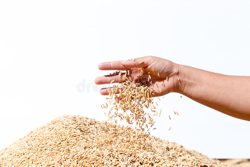 Übergeben Sie Griffungeschälten Reis auf dem weißen Hintergrund lizenzfreies stockfoto
