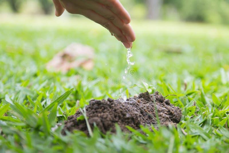 Übergeben Sie wässerndem jungem Baby die kleinen Pflänzchen, die im Bodenesprit wachsen stockfotos