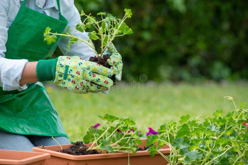 Übergibt Frau Potting-Pelargonienblumen stockfotos