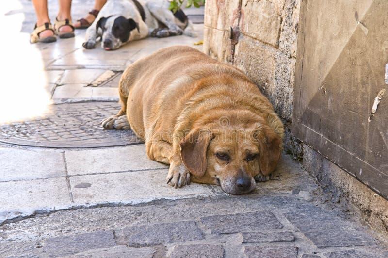 Überladener Hund, der auf Pflasterung liegt stockfotos