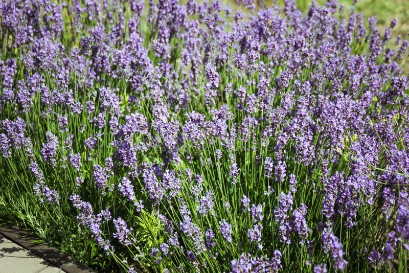 Überraschende Ansichten der Weinberge und der Berge von Krim und von blühendem Lavendel Sch?ne Landschaft von Bergen stockfoto