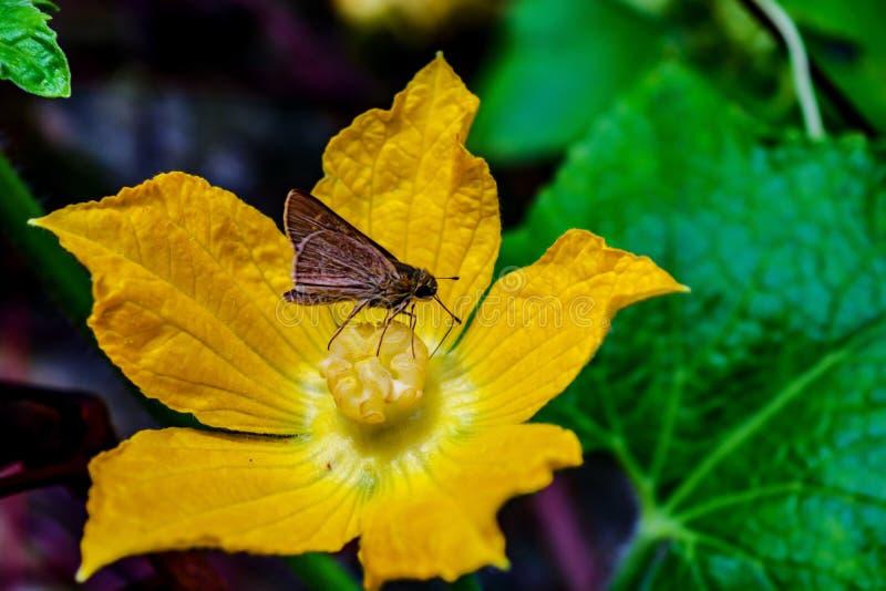 Überraschende Motte, die den Blütenstaub von einer Kürbis-Blume isst stockfotos