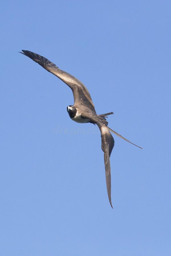 Überraschender Fregattevogel auf Grand Cayman-Insel im vertikalen Bild stockbild