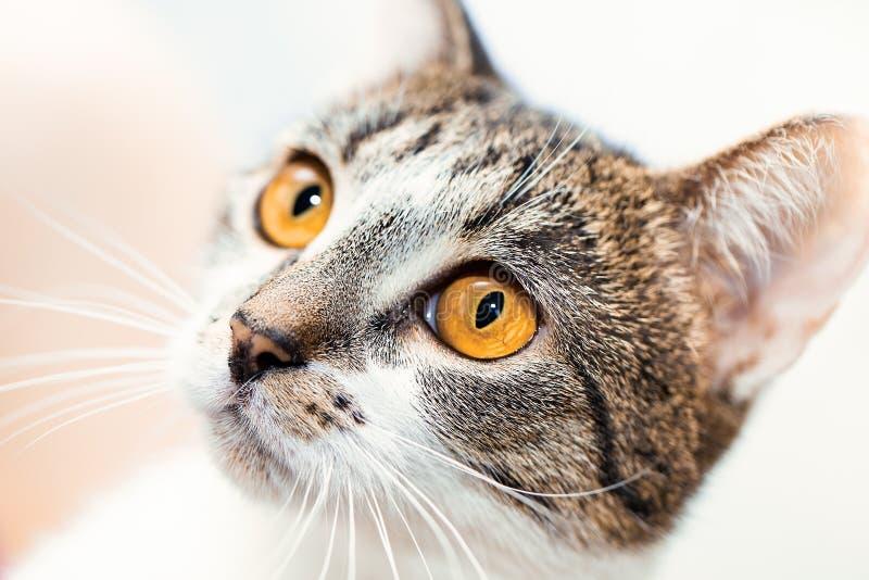 Überraschte Katzenmündung mit gelben Augen schaut oben stockfoto