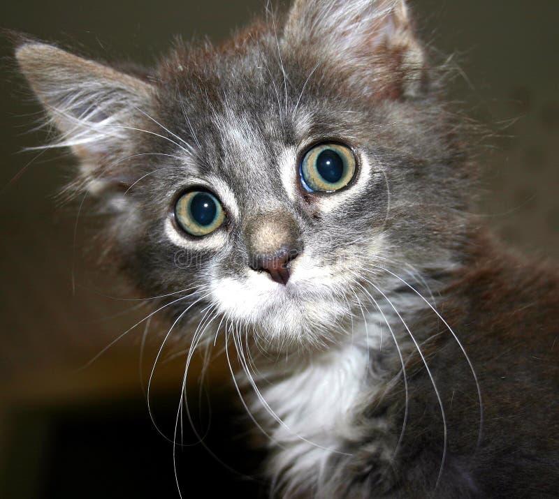 Überraschte Miezekatze stockbilder