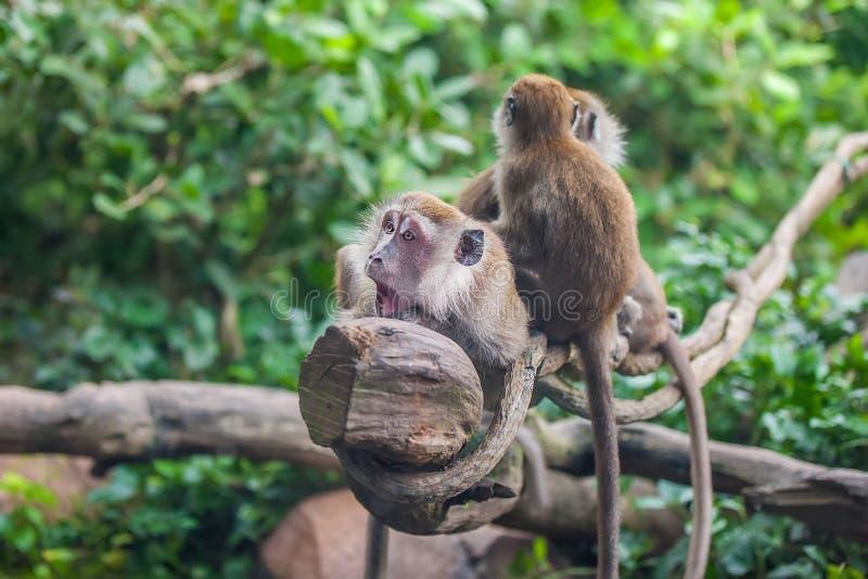 Überraschter Affe mit 2 Affen lizenzfreie stockfotografie