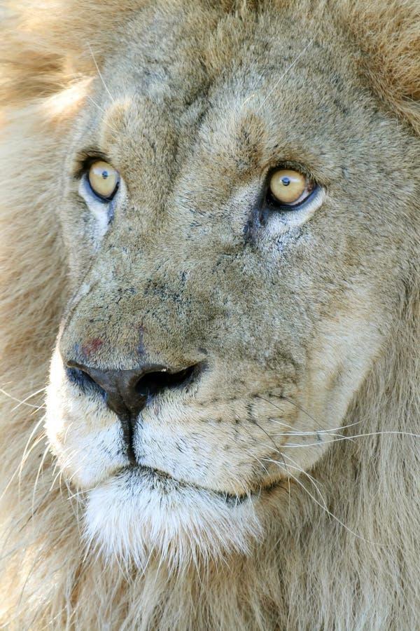 Überraschter Löwe stockbild
