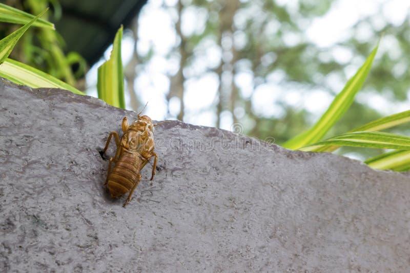 Überreste des Zikadeninsekts Die Zikade mausert und verlässt die Überreste lizenzfreie stockbilder
