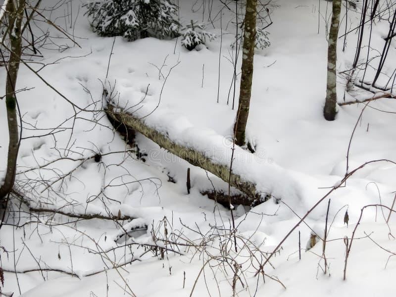 Überreste eines gefallenen Baumstammes bedeckt mit Schnee in einem Winterwald stockbilder