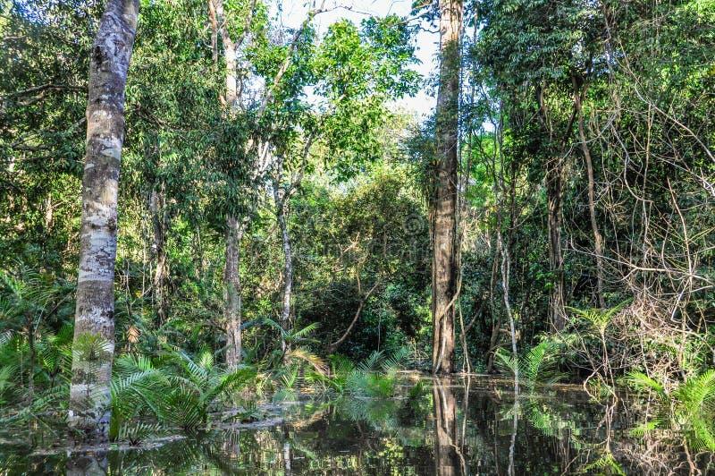 Überschwemmte Bäume im Amazonas-Regenwald, Manaos, Brasilien stockbild