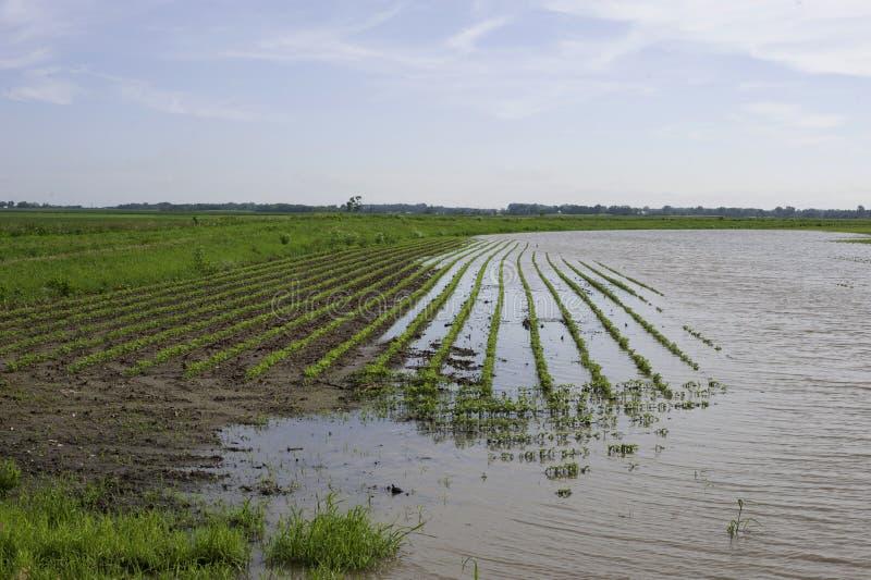 Überschwemmtes Bohnenfeld stockbild