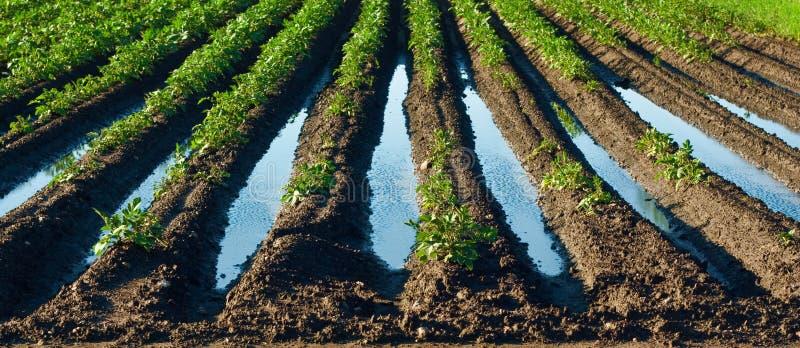 Überschwemmtes Feld mit Kartoffelpflanzen - regnerischer Frühling stockbild