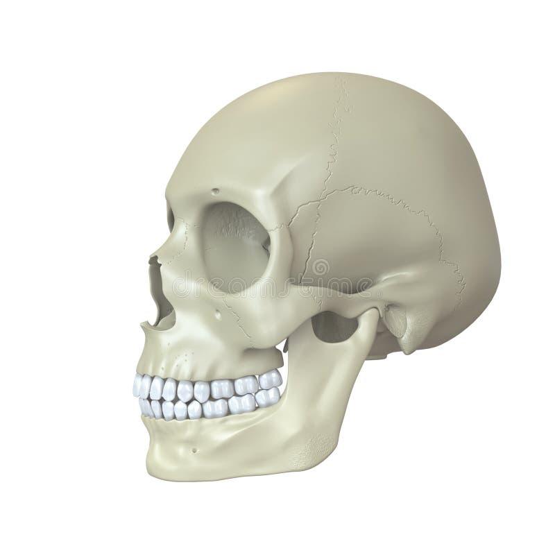 Übertragener Menschlicher Schädel Stock Abbildung - Illustration von ...