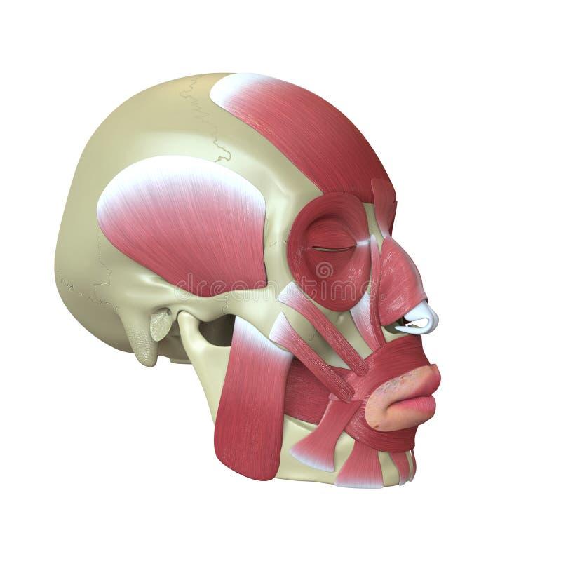 Übertragener menschlicher Schädel mit den Muskeln stock abbildung