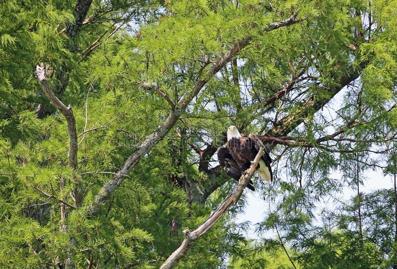 Überwachen des kahlen Adlers lizenzfreie stockfotografie