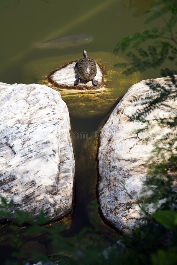 Überwachende Fische der Schildkröte lizenzfreie stockfotos