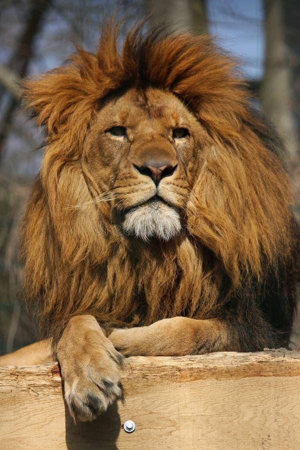 Überwachender Löwe lizenzfreies stockfoto