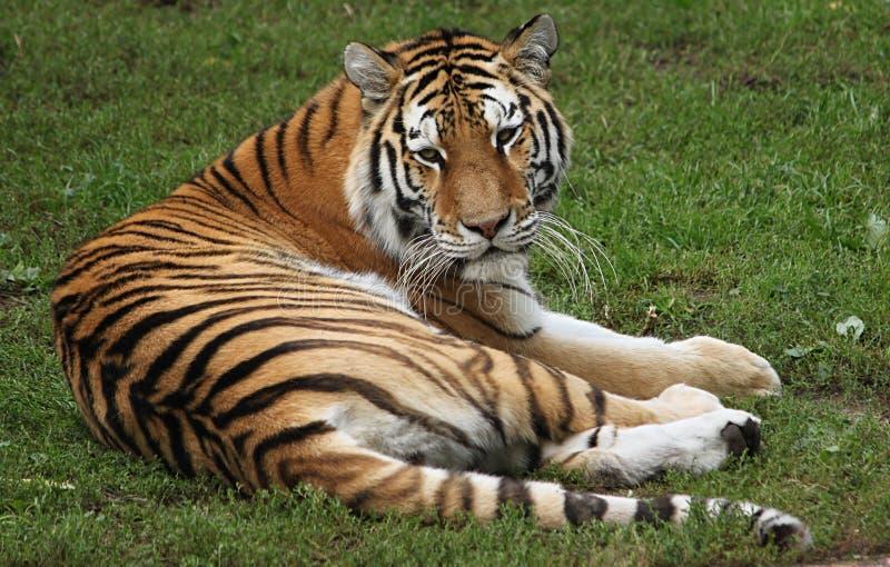 Überwachender Tiger stockbild