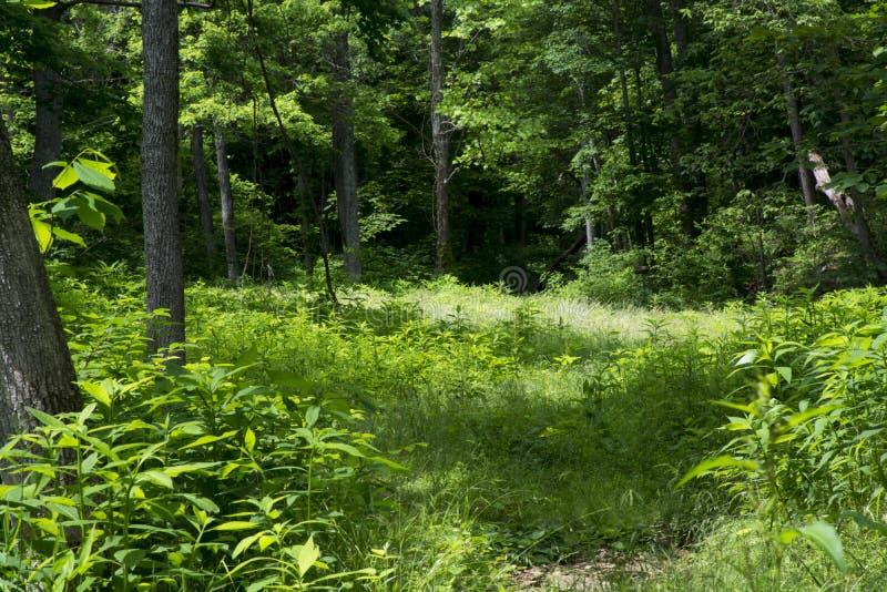 Überwucherte Wiese in einem Wald lizenzfreie stockfotografie
