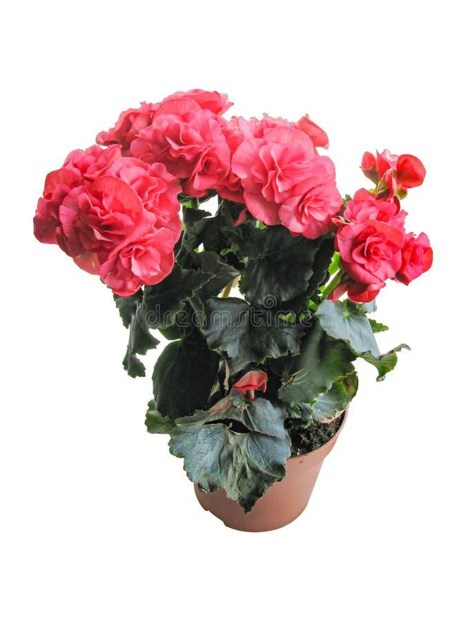 üppig blühendes Begonia rot, stark gefärbt, isoliert auf weißem Hintergrund lizenzfreies stockbild