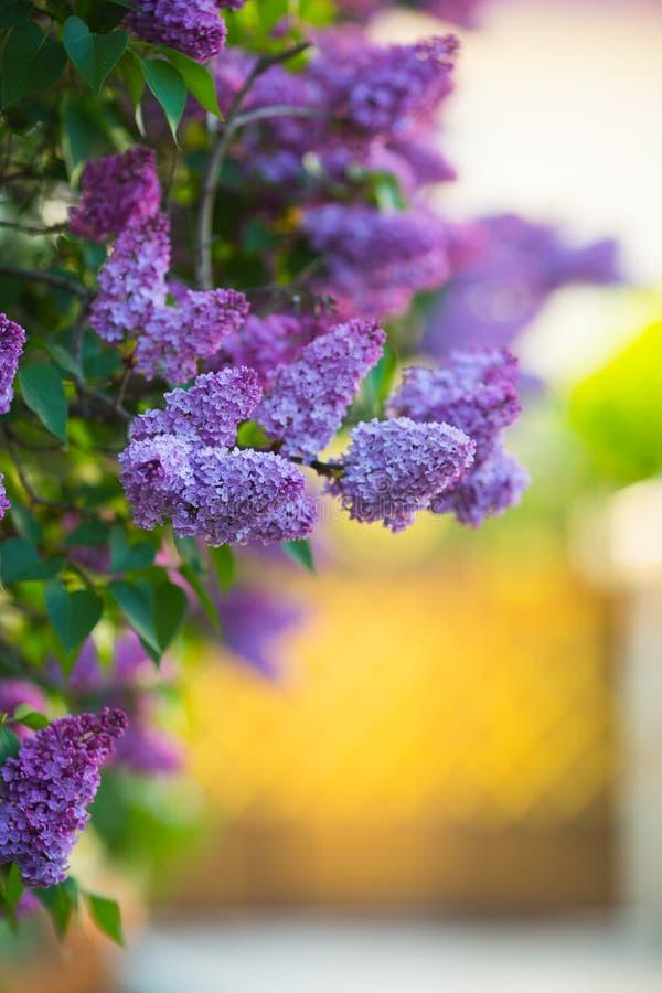 Üppige blühende Fliederbüsche auf warmem sonnigem unscharfem Hintergrund mit Kopienraum lizenzfreie stockfotos