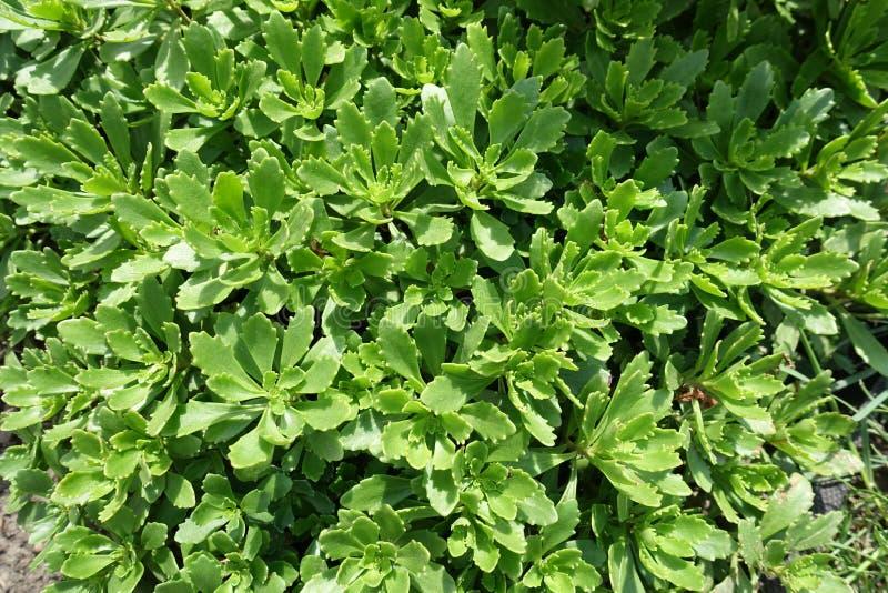 Üppige grüne Blätter von Sedum-kamtschaticum lizenzfreie stockfotografie