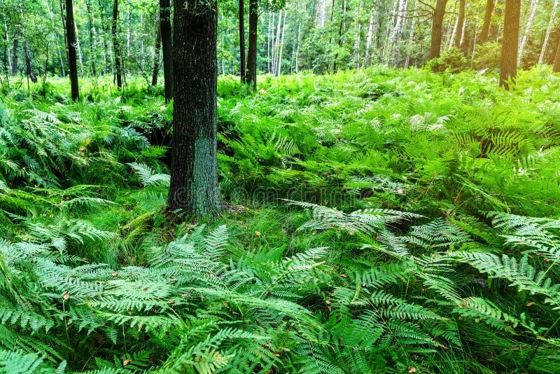 Üppiger Farn im Wald stockfotografie