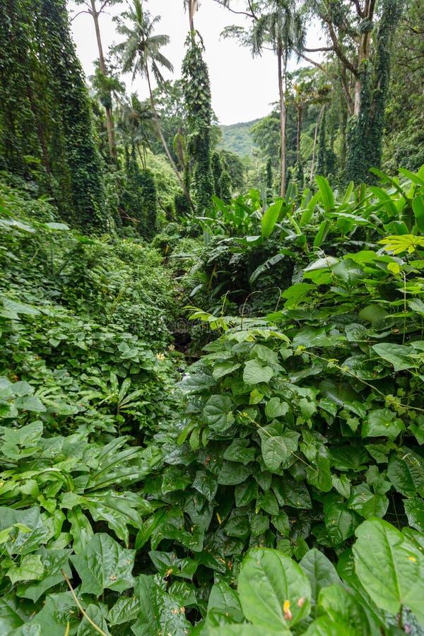 Üppiges grünes Laub auf den Manoa-Fällen schleppen lizenzfreie stockfotos