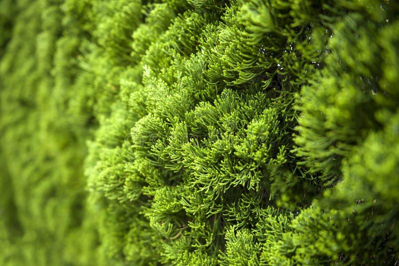 Üppiges grünes Laub der Zypresse-Hintergrundbeschaffenheit stockfotos