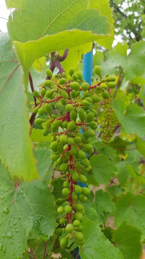 Üppiges unausgereiftes Traubenbündel mit grünen Beeren und roten Stämmen stockfotografie