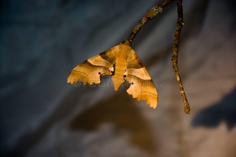 Ćma lub motyl na gałąź obrazy royalty free