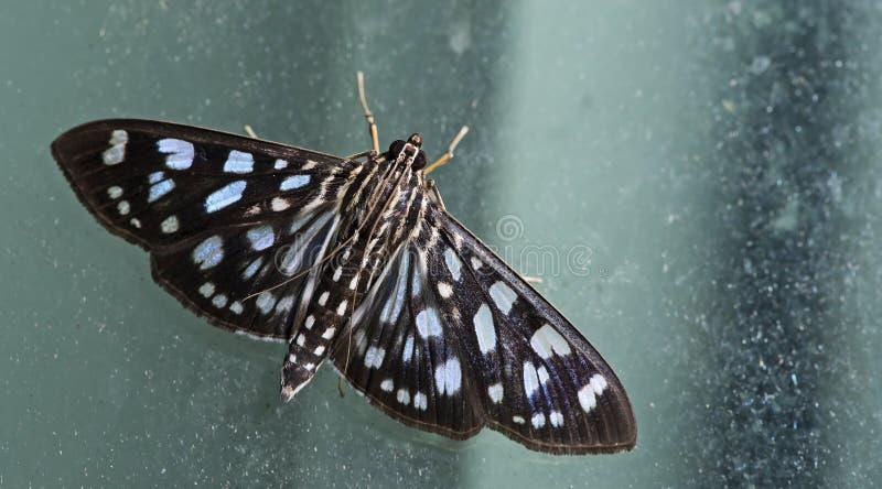Ćma, motyl przy nocą, ćma w Thailand zdjęcia royalty free