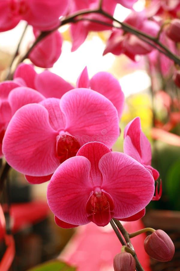 ćma piękna orchidea obrazy royalty free