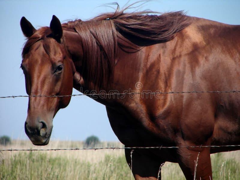 ćwierć kobylak konia fotografia stock