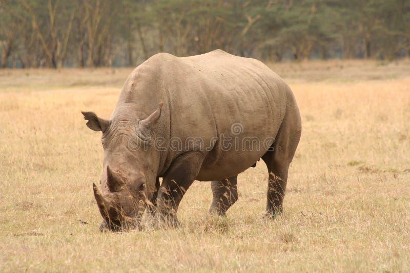 ćwierć nosorożec trzy uwagi na białe zdjęcia stock