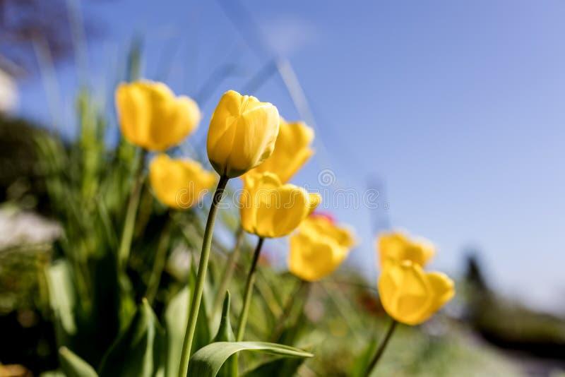 Łóżko żółci tullips w kwiacie przeciw niebieskiemu niebu w wiośnie wewnątrz obrazy royalty free